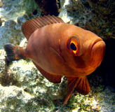 Golden moontail bullseye. Blacktip Grouper. Underwater world, life Red sea Stock Photography