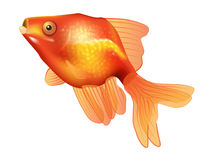 Golden Fish Vector. Orange-yellow golden fish swimming Royalty Free Stock Images