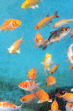 Golden fishes Royalty Free Stock Photography