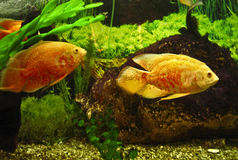 Golden fishes cichlasoma Royalty Free Stock Photography