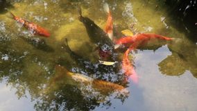 Golden fishes stock video footage