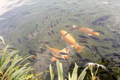 Golden fishes paired with others. Going to fish tomorrow Royalty Free Stock Photos