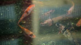 Golden fishes in pond. Closeup stock video