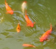 Golden fishes Royalty Free Stock Images