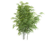 Golden_fishpole_bamboo_(Phyllostachys_aurea) Royalty Free Stock Image