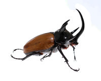 Golden five horned rhino beetle on a white background. Stock Photography