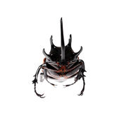 Golden five horned rhino beetle on a white background. Royalty Free Stock Photos