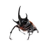 Golden five horned rhino beetle on a white background. Royalty Free Stock Images