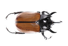 Golden five horned rhino beetle on a white background. Stock Photos