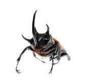 Golden five horned rhino beetle on a white background. Royalty Free Stock Photography