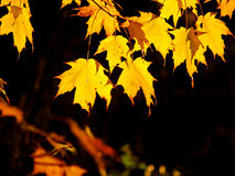 Golden flame maple leaves Royalty Free Stock Photography