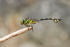 Golden flangetail dragonfly Stock Images