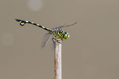 Golden Flangetail - Portrait of dragonfly. Portrait of dragonfly - Golden Flangetail Stock Images