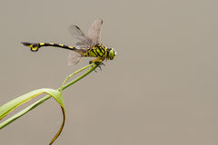 Golden Flangetail - Portrait of dragonfly. Portrait of dragonfly - Golden Flangetail Royalty Free Stock Photos