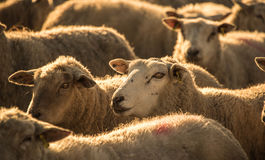 Golden Fleece. A herd of sheep photographed during the golden hour before sunset in the Ogwr valley, Bridgend, Wales Stock Image