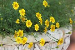 Small yellow dahlberg daisy flower blooming. Golden fleece or thymophylla tenuiloba, small yellow dahlberg daisy flower blooming Stock Photos