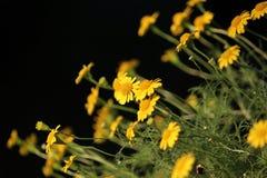 Small yellow dahlberg daisy flower blooming. Golden fleece or thymophylla tenuiloba, small yellow dahlberg daisy flower blooming Stock Photo