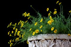 Small yellow dahlberg daisy flower blooming. Golden fleece or thymophylla tenuiloba, small yellow dahlberg daisy flower blooming Royalty Free Stock Photos