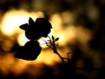 Golden Flora. A flower silhouette on a golden light of setting sun Royalty Free Stock Photos