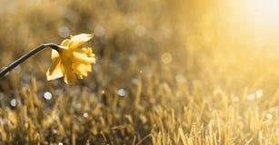 Golden flower banner Royalty Free Stock Image