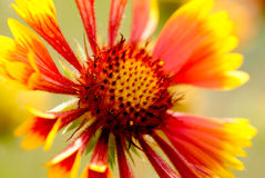 Gaillardia, the blanket flower closeup Stock Photography