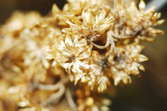 Golden flower. Bouquet of golden flowers from dryness Royalty Free Stock Photos