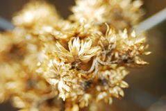 Golden flower. Bouquet of golden flowers from dryness Royalty Free Stock Photography