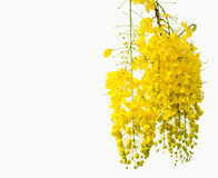 Golden Flower or Cassia Fistula isolated on white background.  royalty free stock photography