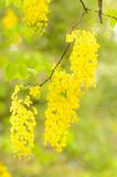 Golden Flower or Cassia Fistula Royalty Free Stock Photo