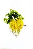 Golden Flower. Or Cassia Fistula, national flower of Thailand Stock Photos