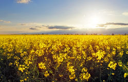 Golden flower field with sun Royalty Free Stock Photo