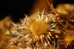 Golden flower un macro shot royalty free stock photography