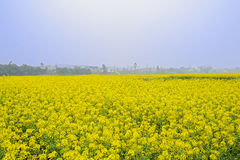 Golden flowering rape field in foggy sunny spring Royalty Free Stock Photography