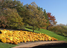 Golden Flowers on Hillside. Golden blanket of fall flowers adorning grassy tree-studded hillside Stock Images