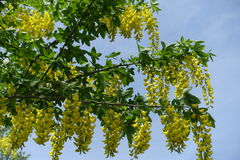 Yellow flowers of Laburnum anagyroides densely packed in pendulous racemes Stock Images