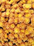 Golden flowers from a Spherical Chrysant plant. A colorful display of golden flowers from a Spherical Chrysant blooming in autumn stock photos