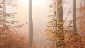 Golden foggy forest in autumn stock video footage