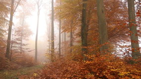 Golden foggy trees in autumn forest. Autumn golden trees in morning foggy forest - video shot out in the woods