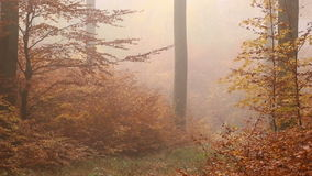 Golden foggy trees in autumn forest. Autumn golden trees in morning foggy forest - video shot out in the woods stock video