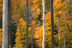 Golden Foliage. Framed by gray and white vertical tree trunks stock photos