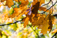 Golden foliage of autumn maple tree branch in forest Stock Photo