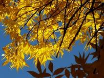 Golden foliage Royalty Free Stock Photography
