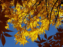 Golden foliage Royalty Free Stock Photography