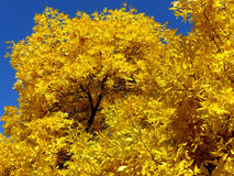 Golden foliage Royalty Free Stock Photo