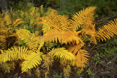 Golden foliage of cinnamon ferns in Bigelow Hollow, Connecticut. Royalty Free Stock Images