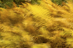 Golden foliage of hayscented ferns in Bigelow Hollow, Connecticu. Brilliant orange and yellow autumn leaves of hayscented ferns, Dennstaedtia punctilobula, in Royalty Free Stock Image
