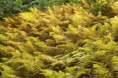 Golden foliage of hayscented ferns in Bigelow Hollow, Connecticu Royalty Free Stock Photos