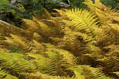 Golden foliage of hayscented ferns in Bigelow Hollow, Connecticu Stock Images