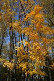 Golden foliage of maple trees in city park in autumn.  stock image