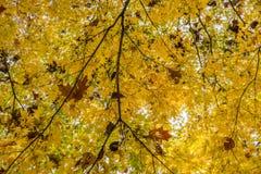 Golden foliage texture Royalty Free Stock Image